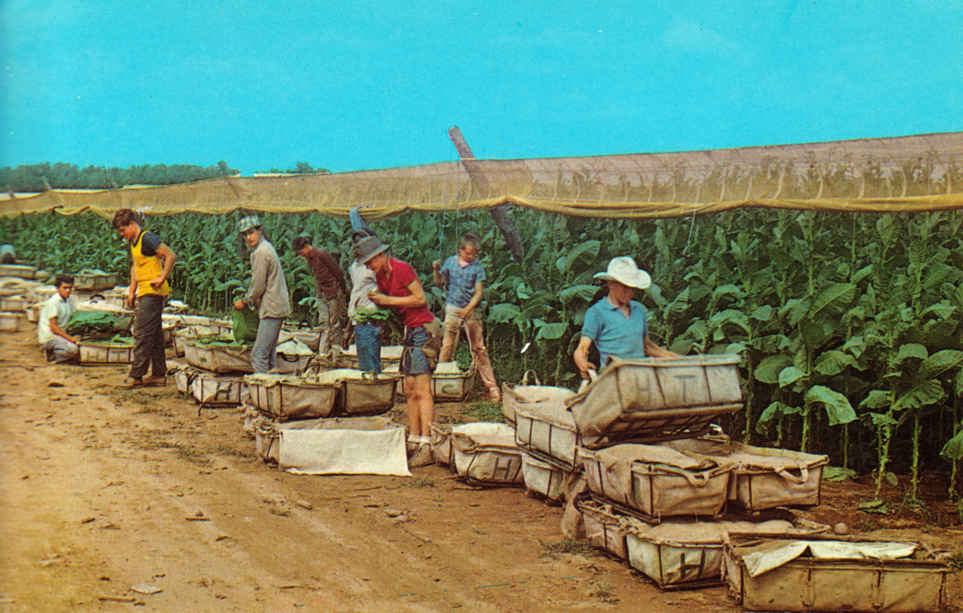 Tobacco Picking Connecticut River Valley Ct Postcards Net
