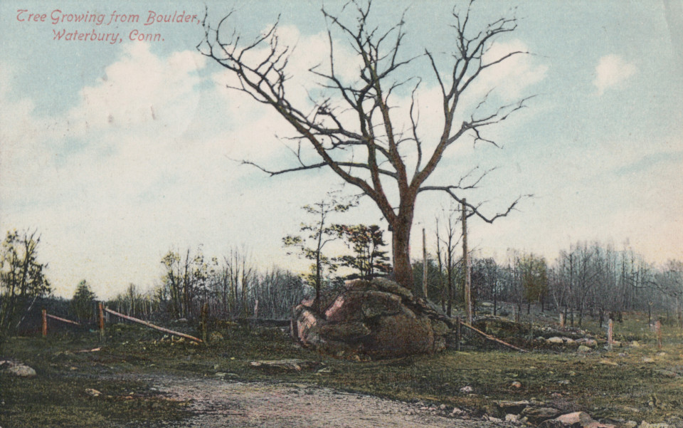 Tree Growing From Boulder, Waterbury